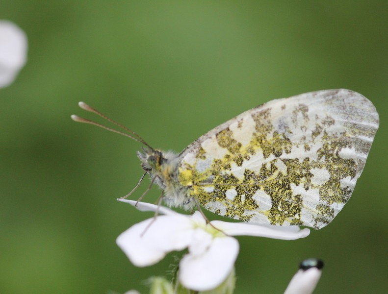 Aurore femelle (Anthocharis cardamines)